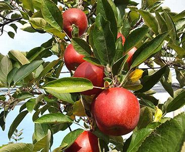 Äpfel bereit zur Ernte