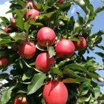 Frische Äpfel und Säfte!