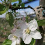 Apfelblüte 2020